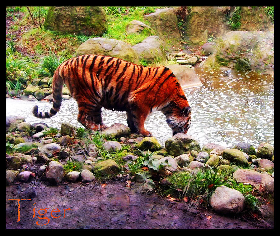 The Tiger Photograph by Stephanie Cooney