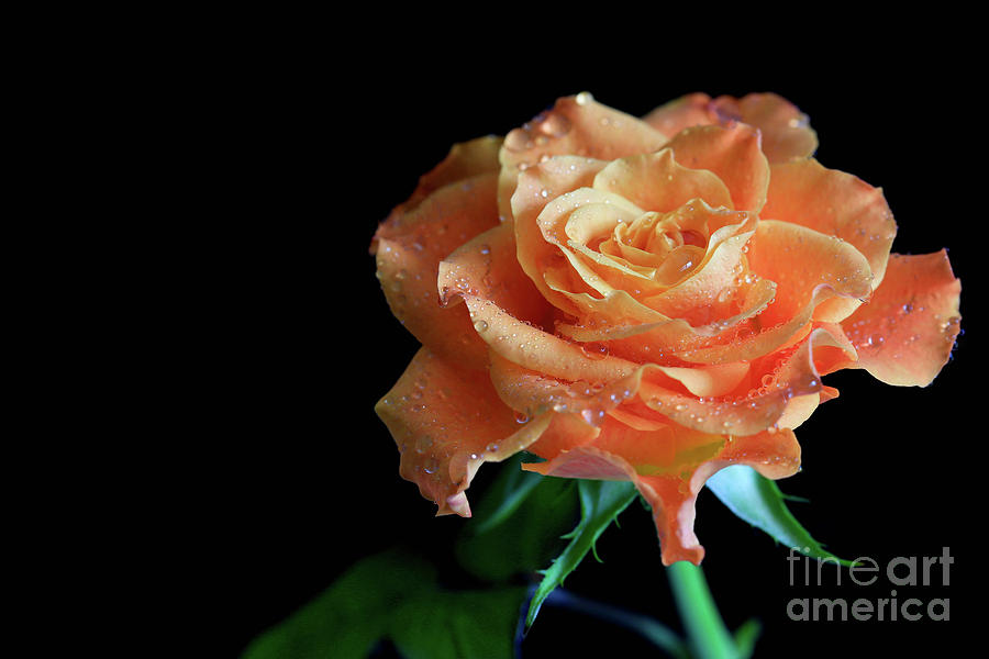 Color Photograph - The Touch Of A Rose by Tracy Hall