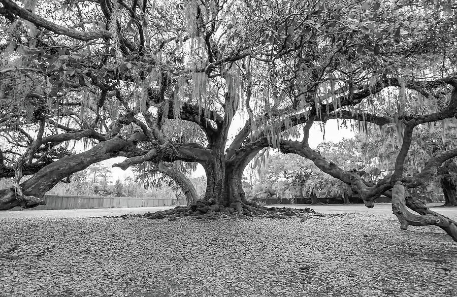 New Orleans Photograph - The Tree of Life monochrome by Steve Harrington