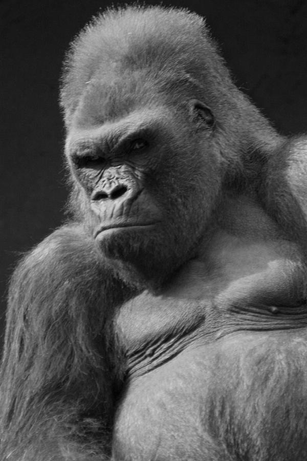 Gorilla Photograph - The Troop Leader by Brad Scott