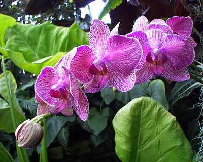Phalaenopsis Orchids Photograph - The Tropical Garden by Suzette Eichenberg