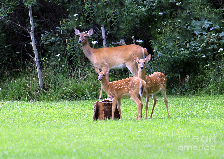 Deer Photograph - The Twins by Kathy DesJardins