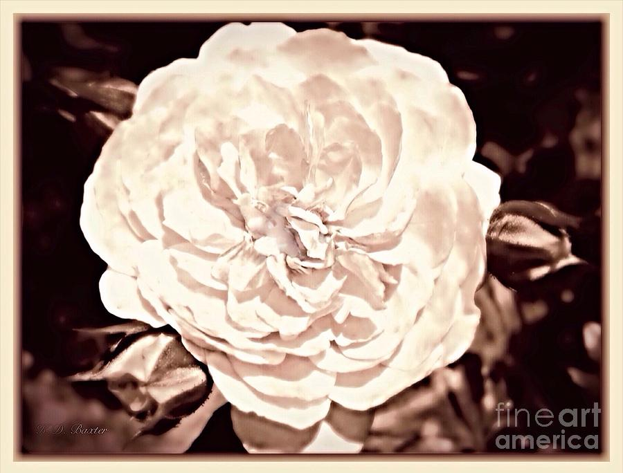 The Vintage English Rose Photograph by Kimberlee Baxter