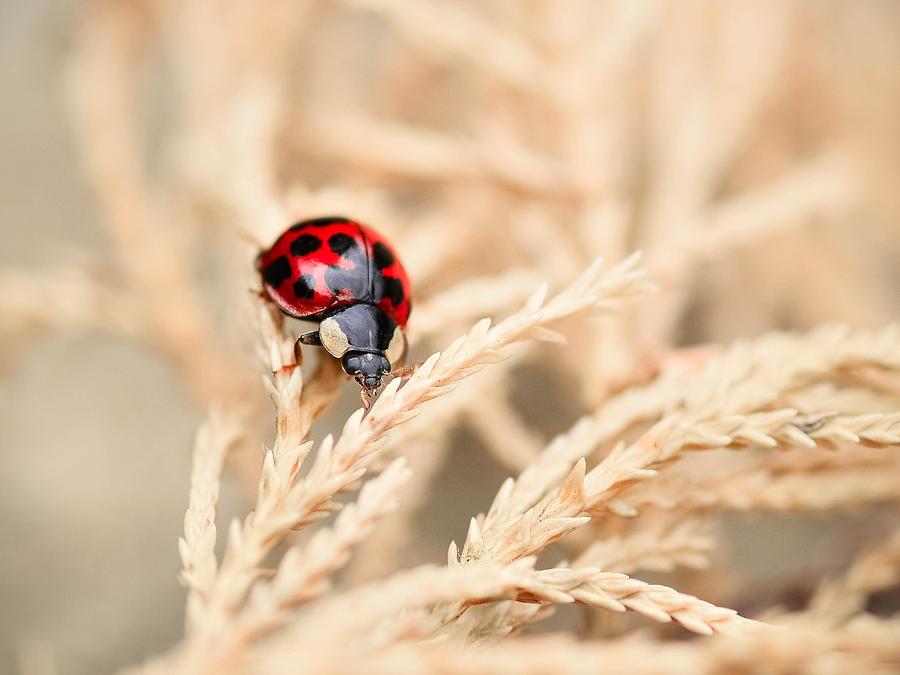 Nature Photograph - The Wandering Ladybug by Tamara Al Bahri