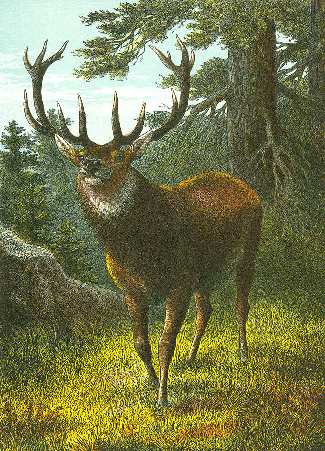 Buck Painting - The Wapiti by English School