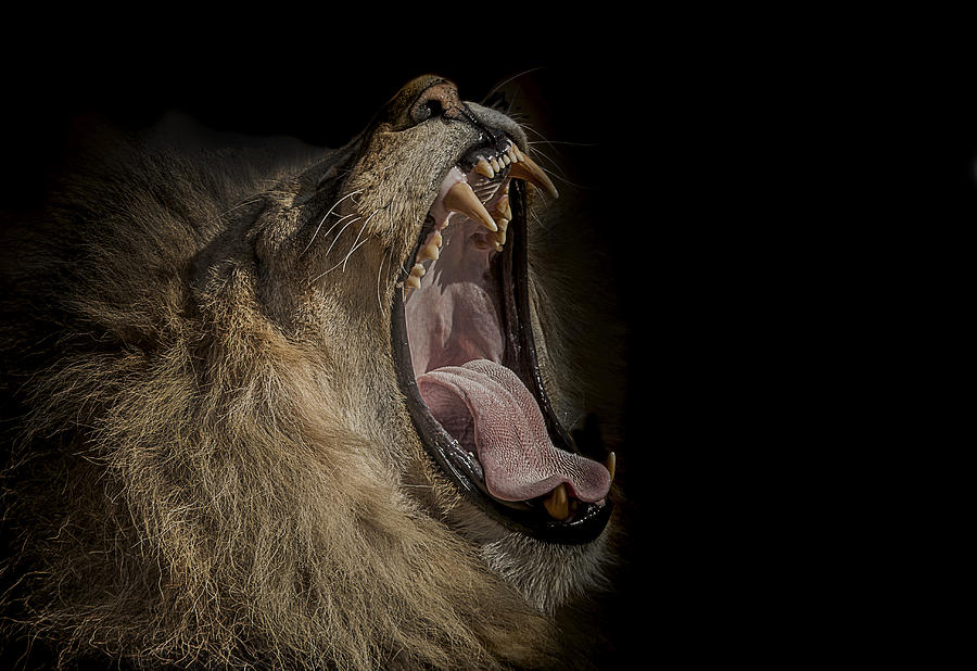Lion Photograph - The War Cry by Paul Neville