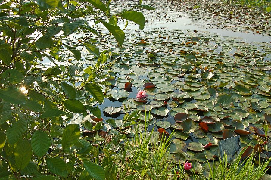 Water Lily Photograph - The Water Lily Pond by Molly Dean