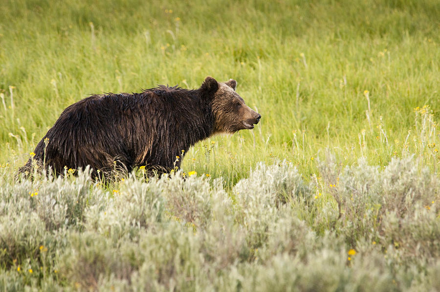 Grizzly Bear Photograph - The Wet Grizzly by Chad Davis