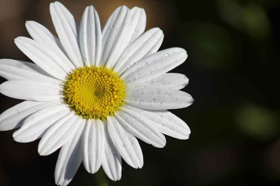 Daisy Photograph - The White Daisy by Danielle Allard