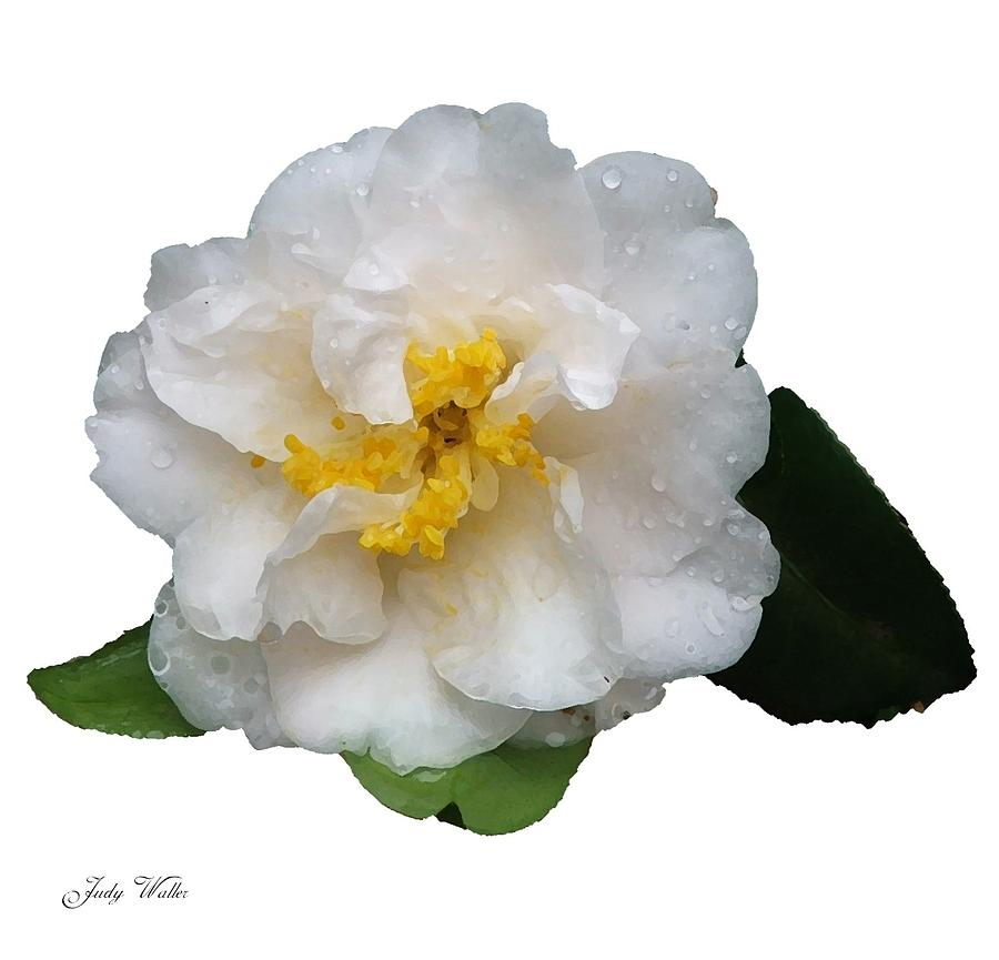 White Photograph - The White Flower by Judy  Waller