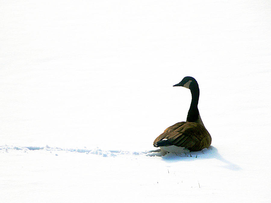 Nature Photograph - The Wild Goose Once More by Guy Ricketts