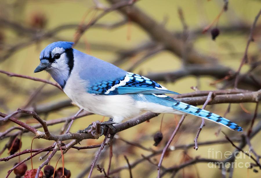 Canon Photograph - The Winter Blue Jay  by Ricky L Jones