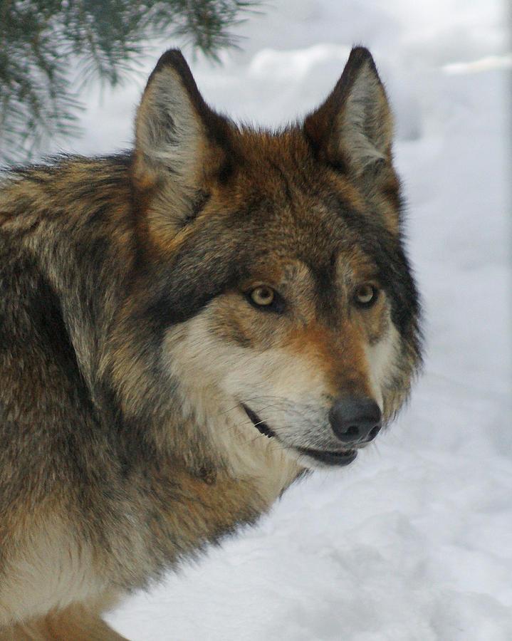 Wolf Digital Art - The Wolf 2 by Ernie Echols
