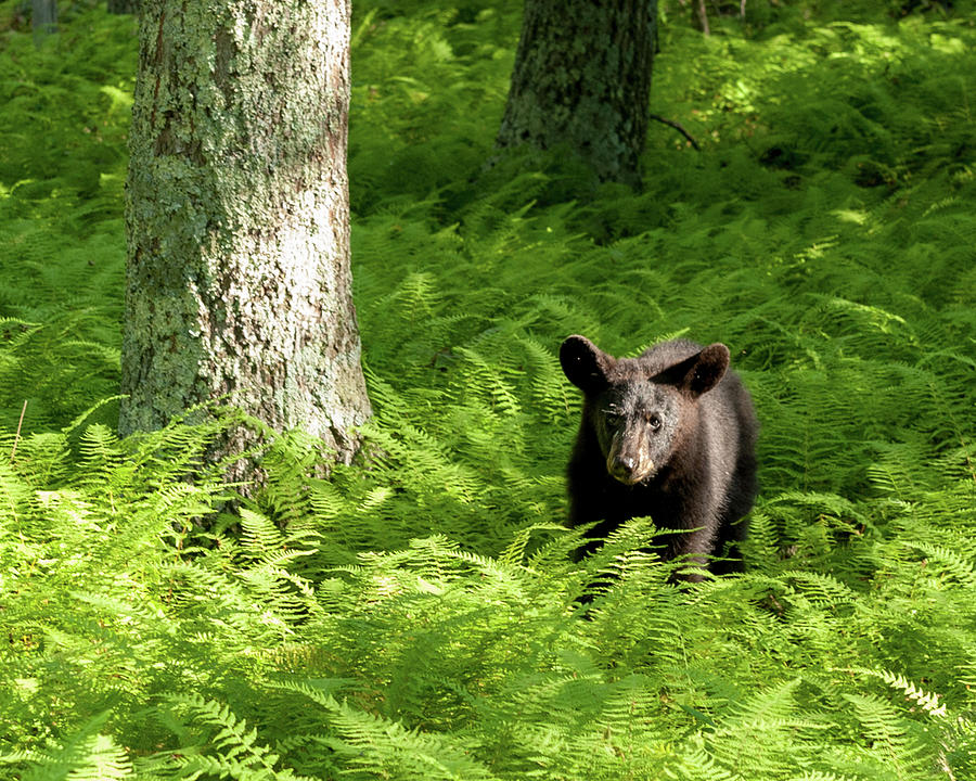 The Yearling Bear Photograph