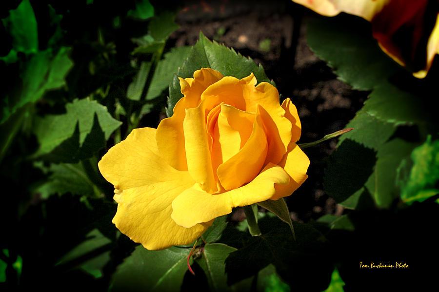 Yellow Photograph - The Yellow Rose Of Garden by Tom Buchanan