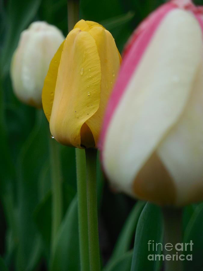 Tulip Photograph - The Yellow Tulip by Rowena Throckmorton