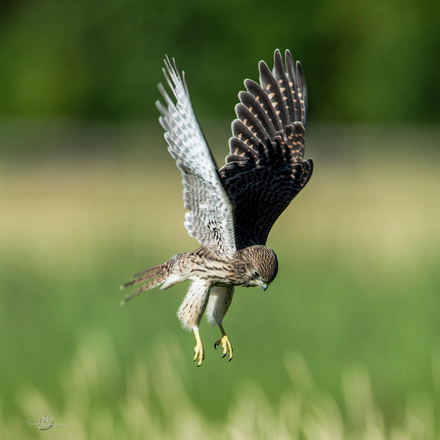 The Young Hovering Kestrel Photograph