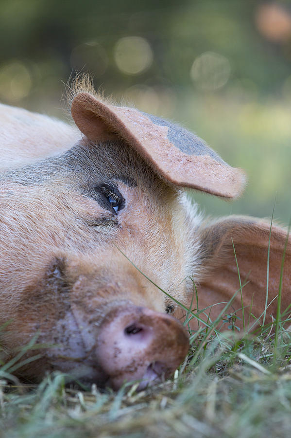 Hog Photograph - Thelma Lou by Keith May