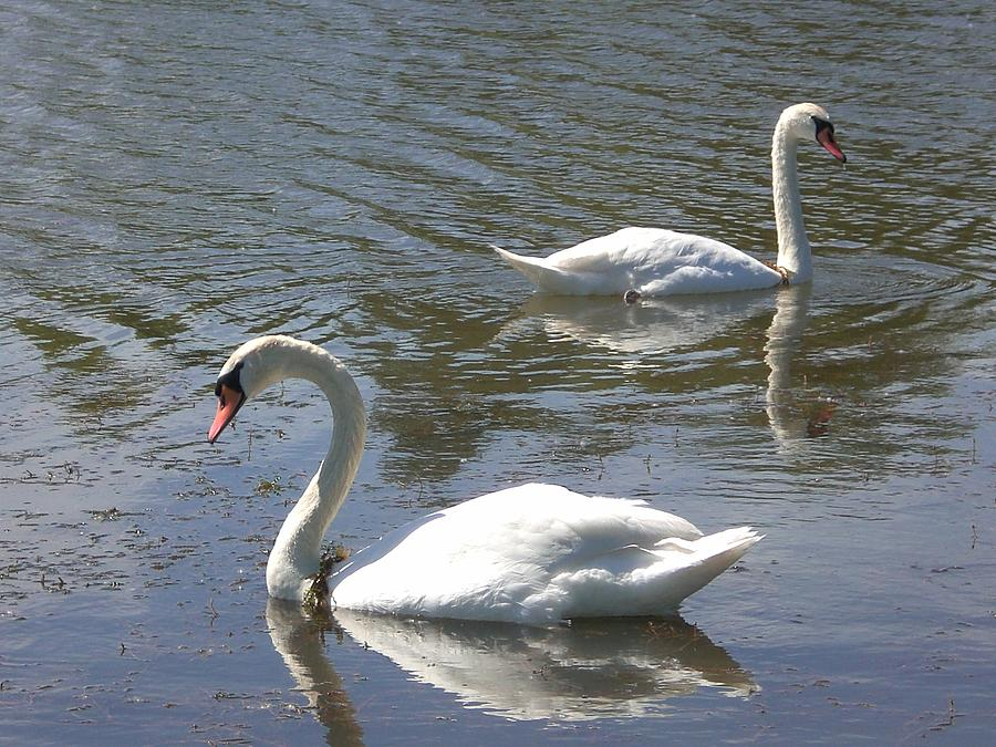 Swans Photograph - There She Goes Again by Sholeh Mesbah