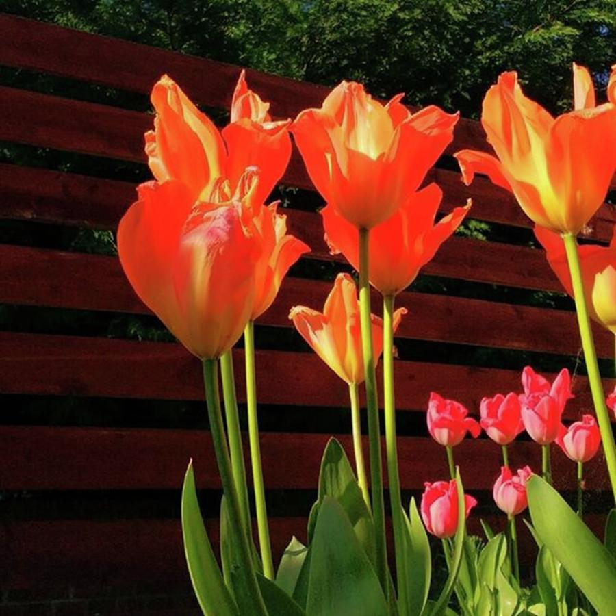 Keukenhof Photograph - These Are #tulips From My Back Garden by Dante Harker