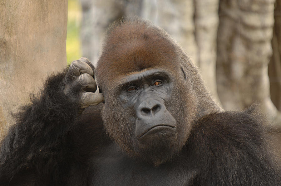 Gorilla Photograph - Think About It by Keith Lovejoy