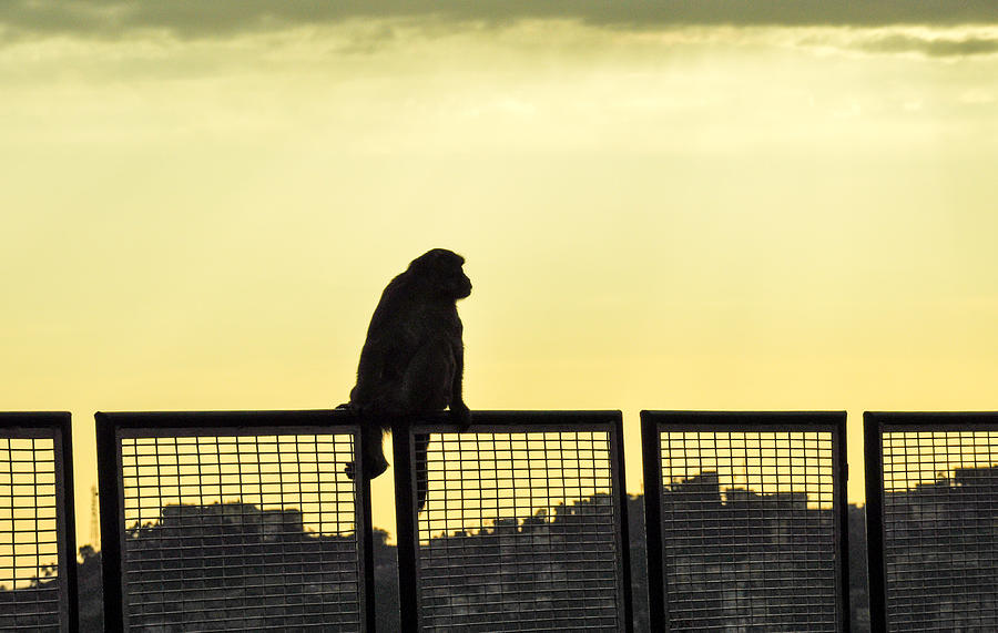 Thinking Monkey Photograph - Thinking Monkey by Freepassenger By Ozzy CG