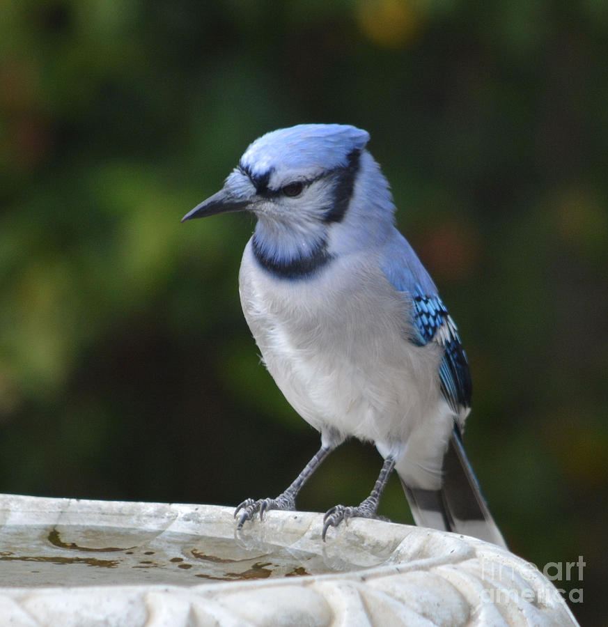 Blue Jay Thinking Things Out  Photograph by Ruth  Housley