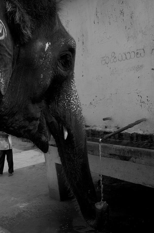 Thirsty Elephant Photograph by Deepak Pawar