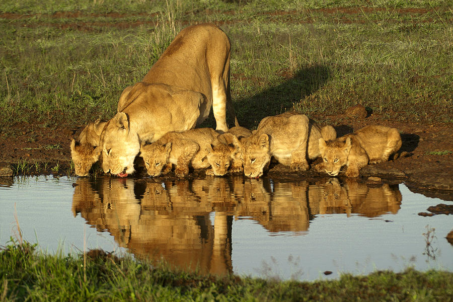 Lion Photograph - Thirsty Lions by Michele Burgess