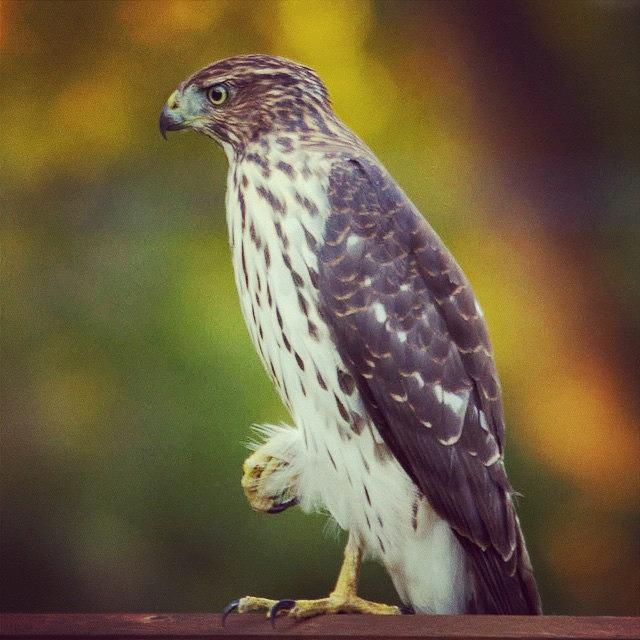 Birding Photograph - Coopers Hawk by Heidi Hermes
