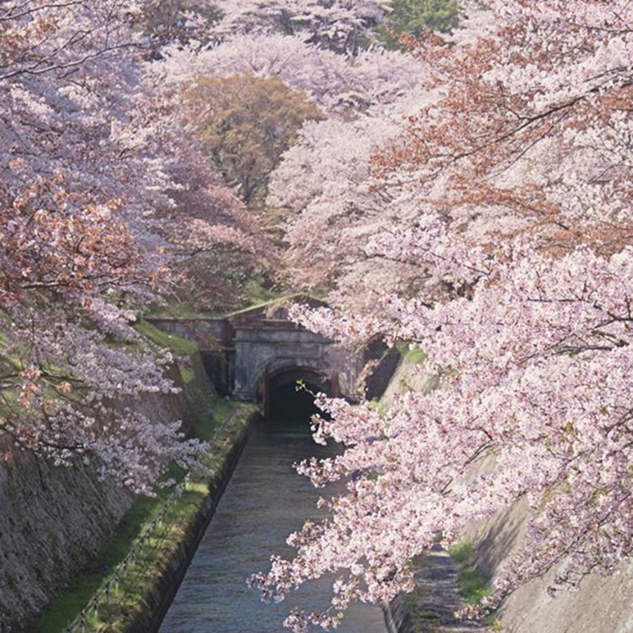 Japan Photograph - This Extraordinary Scene Happens Each by Margaret Goodwin