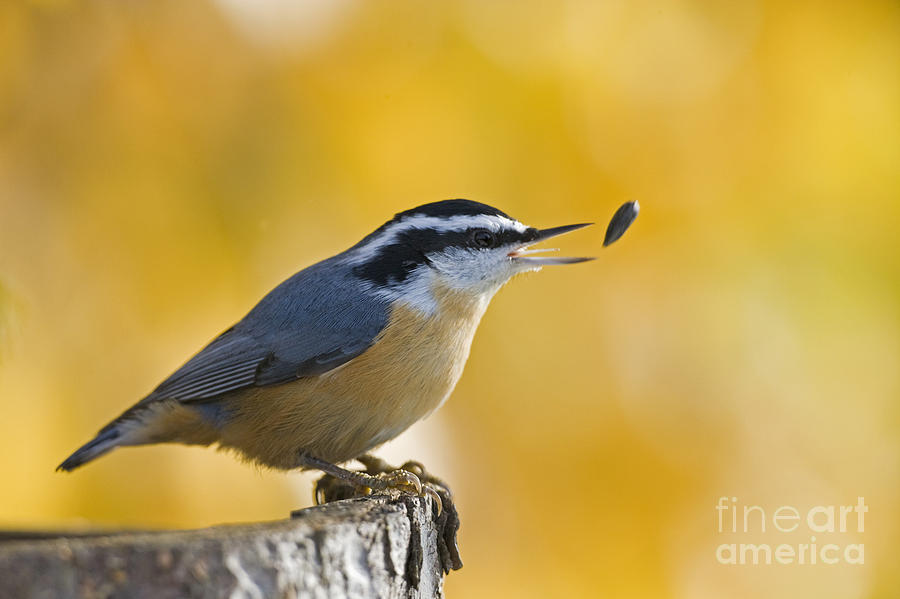 Nuthatch Photograph - This Sunflower Seed Is Not Good Enough  by Tim Grams