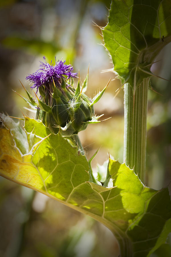 Thistle Photograph - Thistle 2 by Kelley King