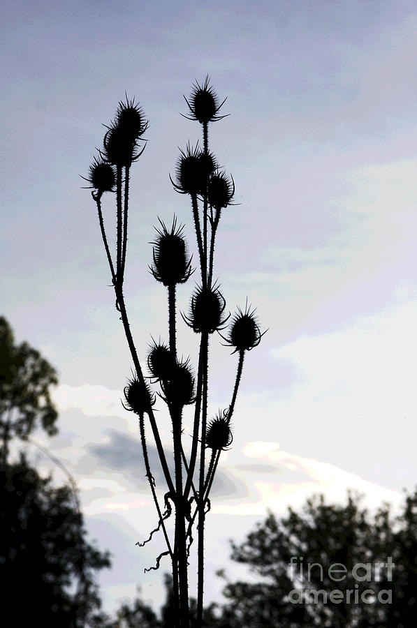 Thistle at Dusk by Jack Ader