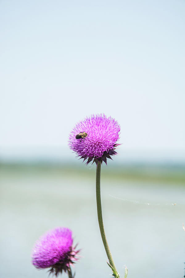 Thistle Bloom Photograph