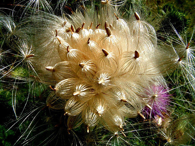 Plants Photograph - Thistle by Don Whipple