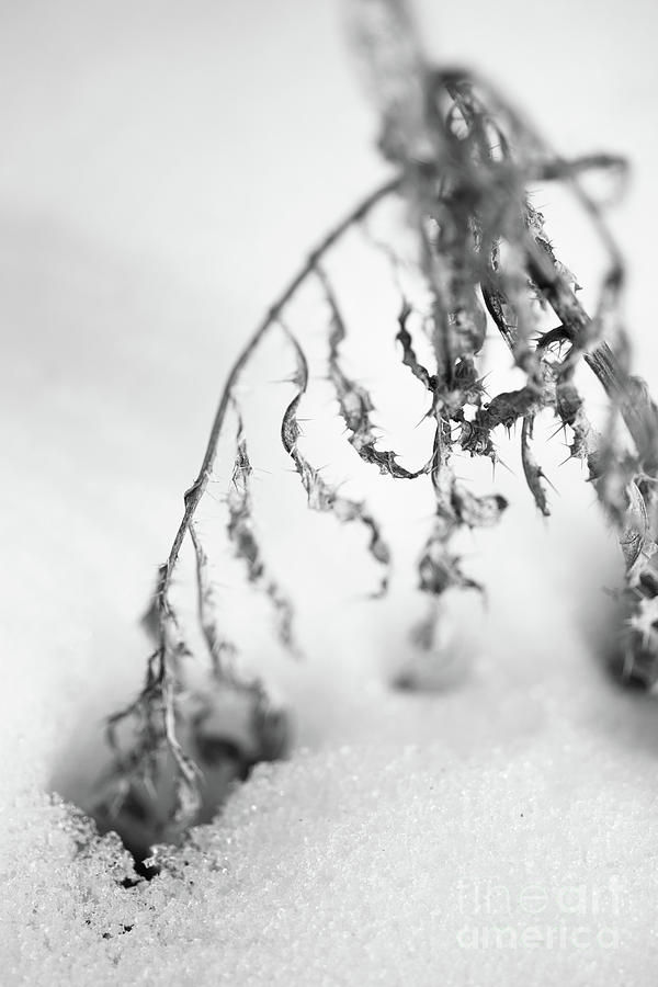 Dry Photograph - Thistle In Snow by Gabriela Insuratelu