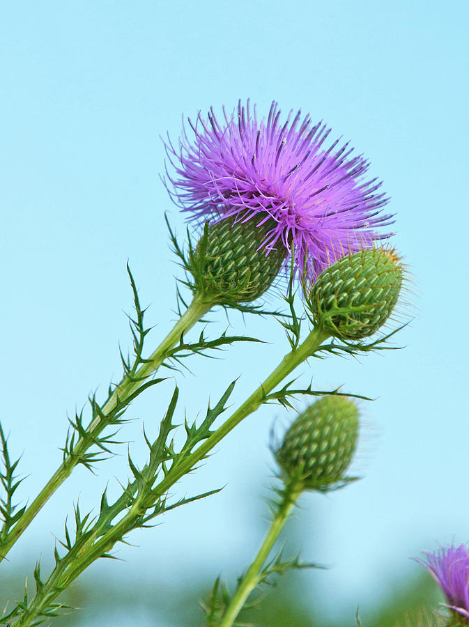 Thistle in the Wind by Rebecca Higgins