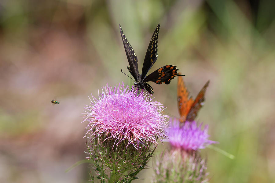 Large And Small Photograph - Thistle Pollinators - Large And Small by Paul Rebmann
