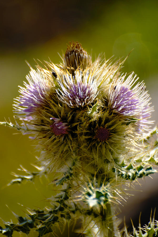 Thistles Photograph - Thistles by Richard Henne