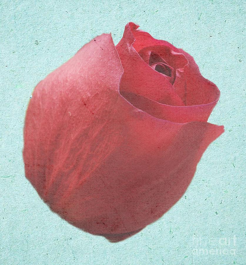 Rose Photograph - Thornless by Jeffrey Kolker
