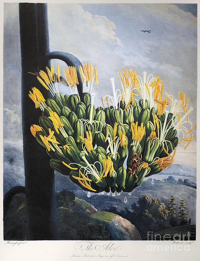 1798 Photograph - Thornton: Aloe by Granger