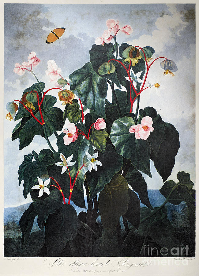 1800 Photograph - Thornton: Begonia by Granger