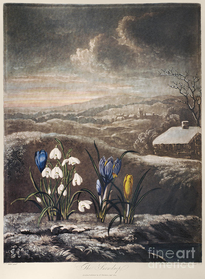 1799 Photograph - Thornton: Crocusi by Granger