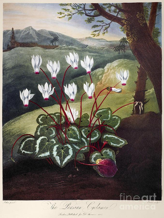 1804 Photograph - Thornton: Cyclamen by Granger