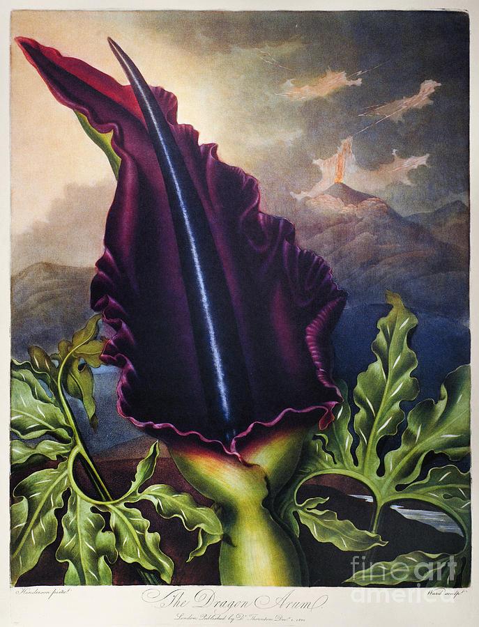 1801 Photograph - Thornton: Dragon Arum by Granger