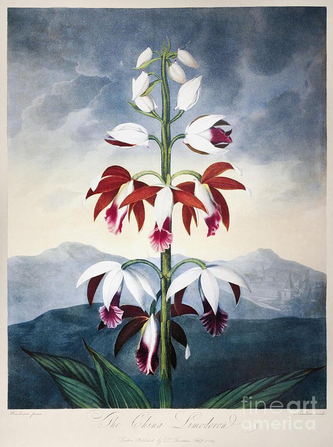 1802 Photograph - Thornton: Limodoron by Granger