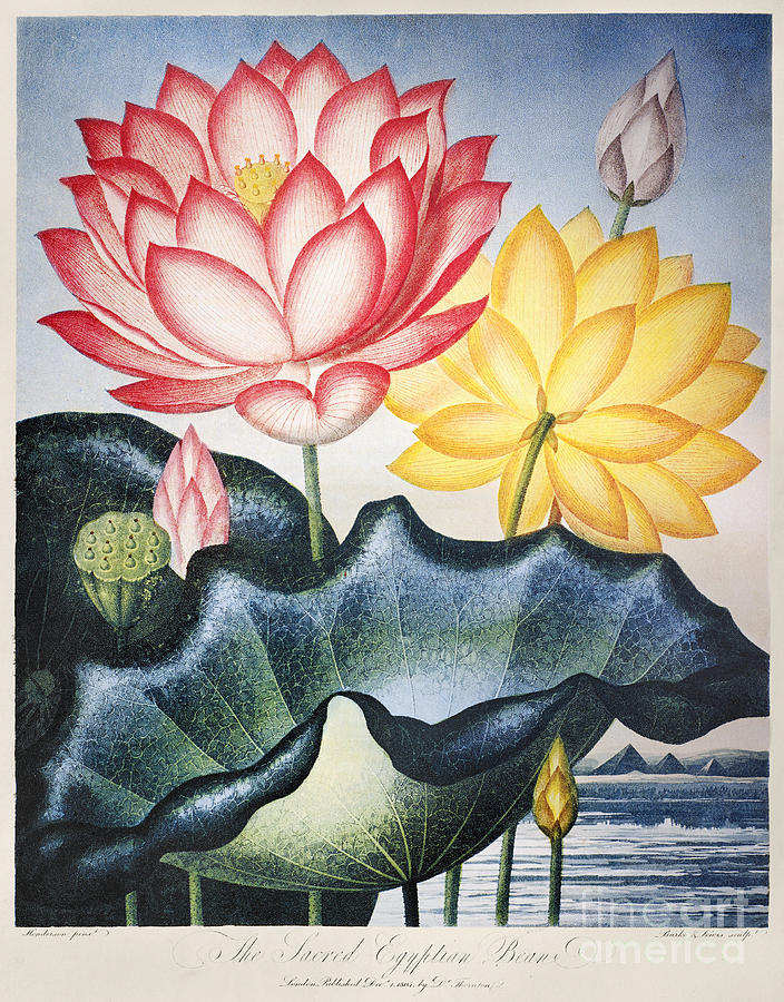 1804 Photograph - Thornton: Lotus Flower by Granger