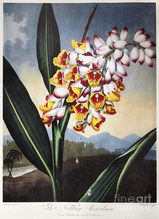 1801 Photograph - Thornton: Shell Ginger by Granger