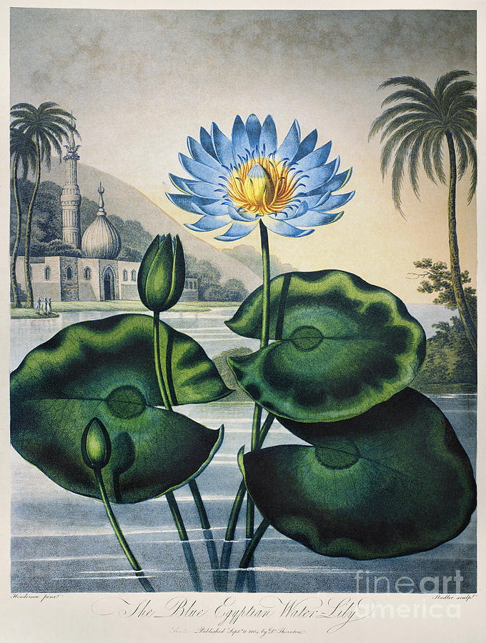 1804 Photograph - Thornton: Water Lily by Granger